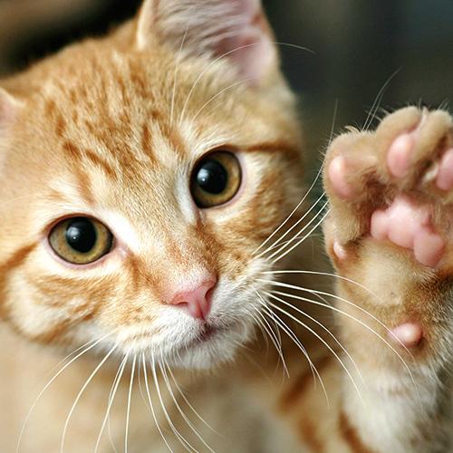 ¿Sabías qué a tu gatito también le puedes enseñar a hacer trucos?